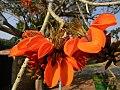 Erythrina latissima03.jpg