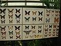 Espèces de papillons.jpg