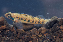 Etheostoma jessiae.jpg
