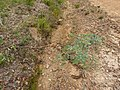 Eucalyptus bridgesiana (5449450648).jpg