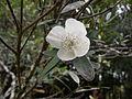 Eucryphia lucida (Leatherwood) flower.jpg