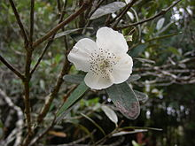 Eucryphia lucida (Leatherwood) flower.jpg