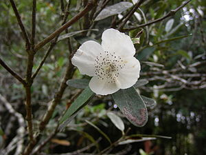 Eucryphia - Eucryphia lucida, Tasmania, Australia