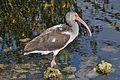 Eudocimus albus -Circle B Bar Reserve. Florida, USA -juvenile-8.jpg