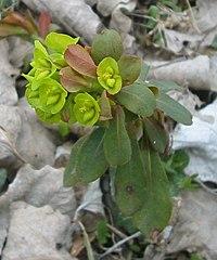 Euphorbia amygdaloides 2 bgiu