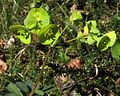 Euphorbia amygdaloides PID2059-1.jpg