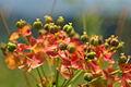 Euphorbia cyparissias PID1674-1.jpg