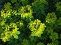 Euphorbia hierosolymitania.JPG