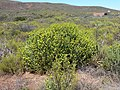Euphorbia mauritanica-P1010237.JPG