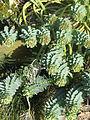 Euphorbia myrsinites reddish form (12745416404).jpg