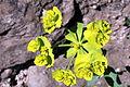 Euphorbia serrata (15298336760).jpg