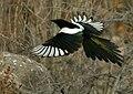 Eurasian Magpie (Pica pica bactriana) (24765475352).jpg