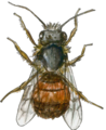 European orchard bee (male) watercolour.png