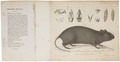 Euryotis irrorata - met schedel - 1700-1880 - Print - Iconographia Zoologica - Special Collections University of Amsterdam - UBA01 IZ20500185.tif