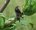 Euthochtha galeator late instar nymph.jpg