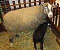 Ewe and lamb DSC04020.jpg