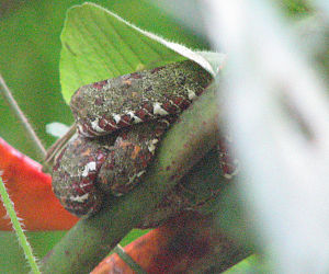 Bothriechis schlegelii - Manuel Antonio National Park, Costa Rica