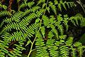 FERN, BRACKEN (pteridium aquelinum) (4-3-08) coon creek -1 (2386709262).jpg