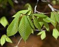 Fagus grandifolia leaves UMFS.jpg