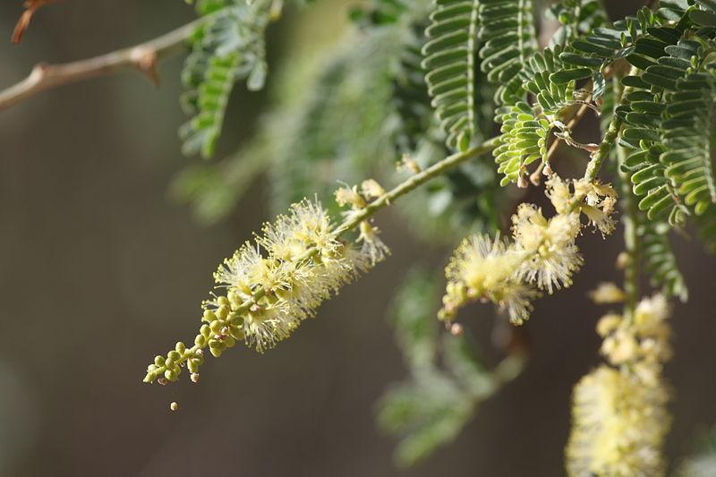 File:Faidherbia albida fleur MHNT.jpg