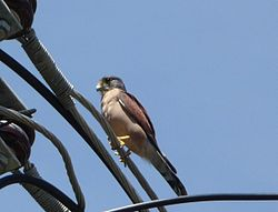 Falco araea Seychelles Kestrel side views.jpg
