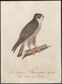 Falco peregrinus - 1800-1812 - Print - Iconographia Zoologica - Special Collections University of Amsterdam - UBA01 IZ18200138.tif