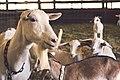 Farm Goats (Unsplash).jpg