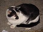 Felis silvestris catus.007 - A Coruña.jpg
