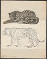 Felis tigris - 1700-1880 - Print - Iconographia Zoologica - Special Collections University of Amsterdam - UBA01 IZ22100097.tif