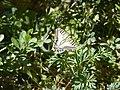 Female Papilio machaon on Ruta chalepensis flower.jpg