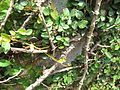 Ficus Pumila - മതിൽപറ്റി 01.JPG