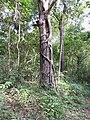 Ficus parasitica-1-kallar-meenmudii-kerala-India.jpg
