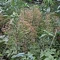 Field Horsetail (Equisetum arvense) - Lark Harbour, Newfoundland 2019-08-18.jpg