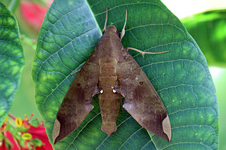 <i>Pachylia ficus</i> species of insect