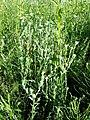 Filago vulgaris sl271.jpg