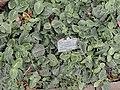 Fittonia verschaffeltii var. argyroneura - Copenhagen Botanical Garden - DSC07393.JPG