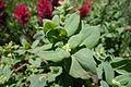 Fleeceflower (17020172192).jpg