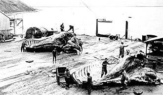Akutan, Alaska - Flensing whales at Akutan, ca. 1915