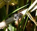 Flesh Fly . Sarcophaga species - Flickr - gailhampshire.jpg