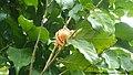 Fleur de N. imperialis (Chapeau de Napoleon).jpg