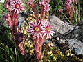 Fleur lac de catchet.JPG