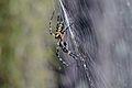 Flickr - ggallice - Orb-weaver spider (2).jpg