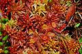 Flickr - ggallice - Sundew, Drosera rotundifolia, among sphagnum moss.jpg