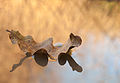 Floating Oak Leaf.jpg