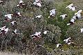 Flock of galah and sparrows03.jpg