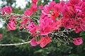 Flora de la Isla Sur-Nueva Zelanda05.JPG