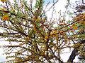 Flora del Cerro del Muerto, Aguascalientes 12.JPG