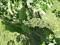 Flowering plants BCP 030.JPG