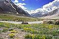 Flowers of Suru valley.jpg