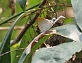 Fluffy Tit (Zeltus etolus) at Jayanti, Duars, West Bengal W IMG 5521.jpg